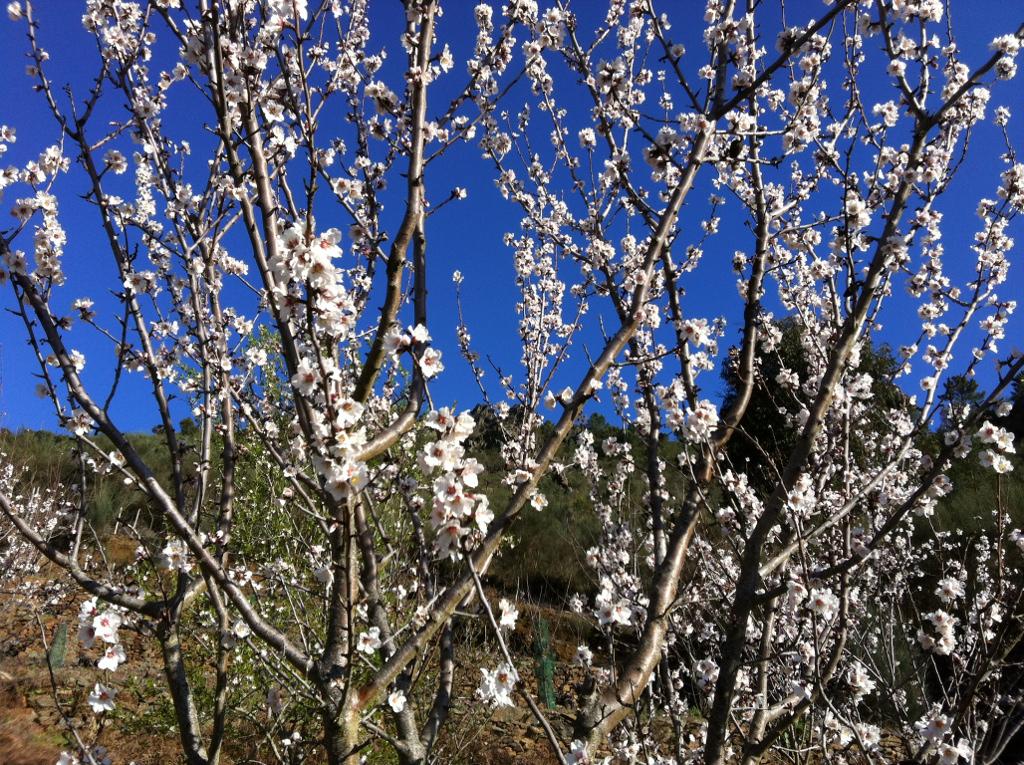 Amendoeiras en flor
