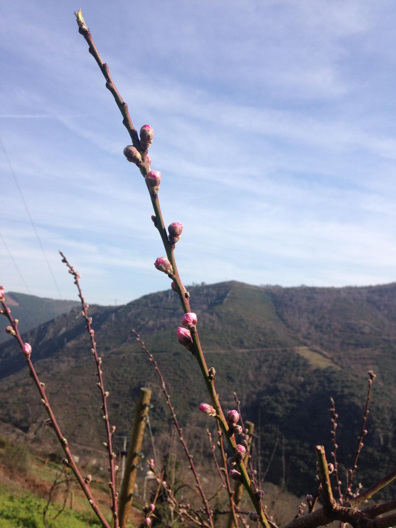 Pavieiras en flor
