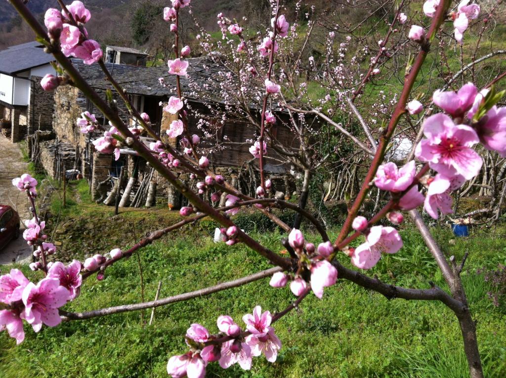 Flores de pavieira