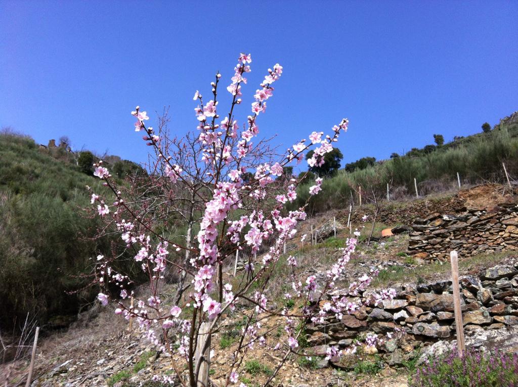 Flores de nabos